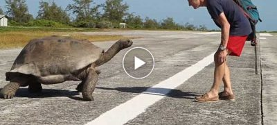 Giant Tortoise in pursuit of an Explorer for interrupting its mating ritual