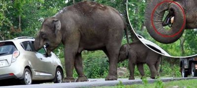 Hungry Elephant packs her trunk with the contents of a tourists' handbag