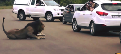 Lion Shows Tourists Why You Must Stay Inside Your african safari car