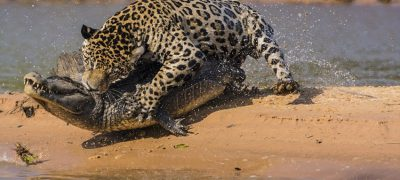 To beat a crocodile in water think like a jaguar