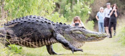 Giant Alligator Going on a Stroll Through Florida Nature Center