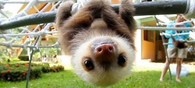 Baby Sloth Cute Conversation Make you fall in love with them