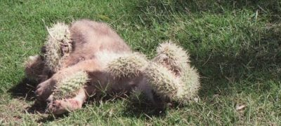 The howling cactus turned out to be a Coyote Pup in Pain yearning for help