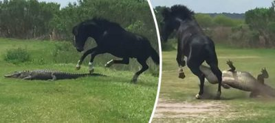 Horse Vs Gator, Horse Stomps On Alligator – Only in Florida unseen viral video