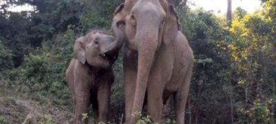 Baby Elephant, Me-Bai Was Kidnapped Reunites With Mom : An incredible story that will melt you